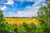 Riping Wheat by corngrowth, photography->landscape gallery
