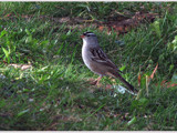 Sparrow by dwdharvey, Photography->Birds gallery