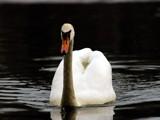 swan by unconciousepiphany, praetori arbitrio gallery