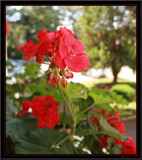 Blooming Red by Corconia, Photography->Flowers gallery