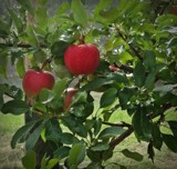 Apple tree by picardroe, photography->general gallery
