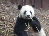 Giant Panda by allentang54, Photography->Animals gallery