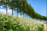Cow Parsley Perspective by corngrowth, photography->landscape gallery