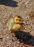 The not so ugly duckling by biffobear, photography->birds gallery