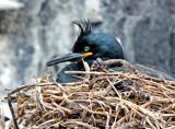 Shag by biffobear, photography->birds gallery