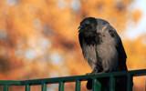 Firebird by boremachine, Photography->Birds gallery