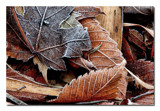 Leaves...Frost by gerryp, photography->nature gallery