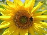 The Sunniest of All! by marilynjane, Photography->Flowers gallery
