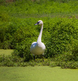 Swan in Green by Pistos, photography->birds gallery
