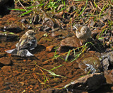 Peeping Tom by biffobear, Photography->Birds gallery