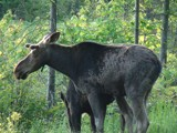 moose 1 by picardroe, photography->animals gallery