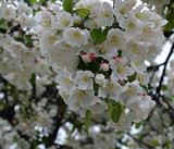 F² - Cherry Blossoms Up Close by icedancer, photography->flowers gallery