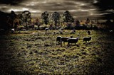 Backlit Sheep by snapshooter87, photography->manipulation gallery