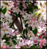 Crabapples in the Pink by Pistos, photography->flowers gallery
