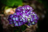 Hydrangea by Pistos, photography->flowers gallery