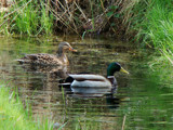 Ducks by Geluidsjager, Photography->Birds gallery