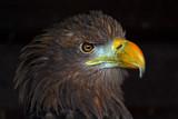 Pharoah by biffobear, Photography->Birds gallery