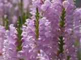 Foxglove by foofoo, Photography->Flowers gallery
