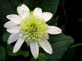 Snowy Coneflower by trixxie17, photography->flowers gallery
