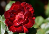 red rose by ro_and, photography->flowers gallery