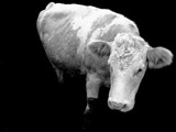 Cow (actually, technically it's a bullock) by jordanmcclements, Photography->Animals gallery