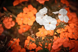 They are not Orange by Eubeen, photography->flowers gallery