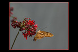 Butter-flied by tigger3, Photography->Butterflies gallery