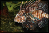 Cowardly Lionfish by Jimbobedsel, Photography->Underwater gallery