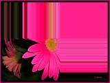 Gerbera Splash by ccmerino, Photography->Flowers gallery