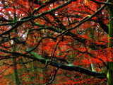 Fire Tree by biffobear, photography->nature gallery