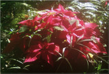 Poinsettia in the Mist by trixxie17, Holidays->Christmas gallery