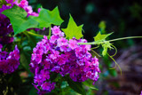 Phlox and Grapevine by Pistos, photography->flowers gallery