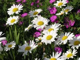 Daisies with Color! by marilynjane, Photography->Flowers gallery