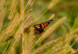 Monarch (4) by Pistos, photography->butterflies gallery