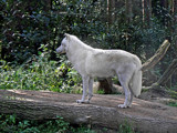Arctic Wolf by Ramad, photography->animals gallery