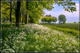 Cow Parsley Scent by corngrowth, photography->landscape gallery