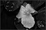 """White Trillium Beyond It's Prime"" - B/W by icedancer, contests->b/w challenge gallery"