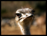 Ostrich! by JQ, Photography->Birds gallery