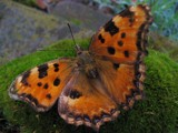 Cute One by Gothic, photography->butterflies gallery