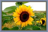 Für Raj by corngrowth, Photography->Flowers gallery