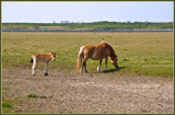 Zeeland Wild Horses 07, So Sorry, Have To Follow My Mom by corngrowth, photography->animals gallery