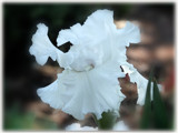 Waltzing in White by wheedance, Photography->Flowers gallery