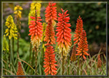 Red Hot Poker Foofies by Jimbobedsel, photography->flowers gallery