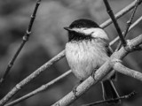 Black-capped Chickadee by Eubeen, contests->b/w challenge gallery