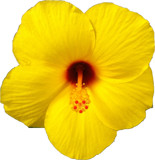 Yellow Hibiscus by ccmerino, photography->flowers gallery