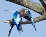 Lilac Breasted Roller by garrettparkinson, photography->birds gallery