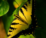 The Swallowtail Butterfly by tigger3, photography->butterflies gallery