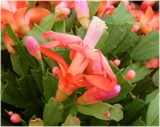 More Christmas Cactus by trixxie17, holidays->christmas gallery