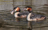 Fishing Grebes by Paul_Gerritsen, photography->birds gallery
