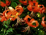 Turk's Cap Lily by trixxie17, photography->flowers gallery